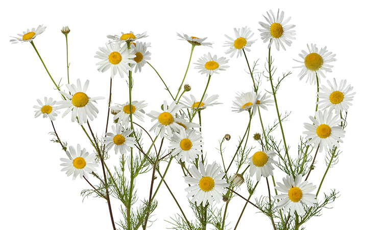 herbs for better sleep Chamomile (Matricaria recutita, Chamaemelum nobile)