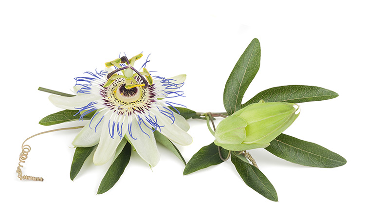 herbs for better sleep Passionflower (Passiflora incarnata)