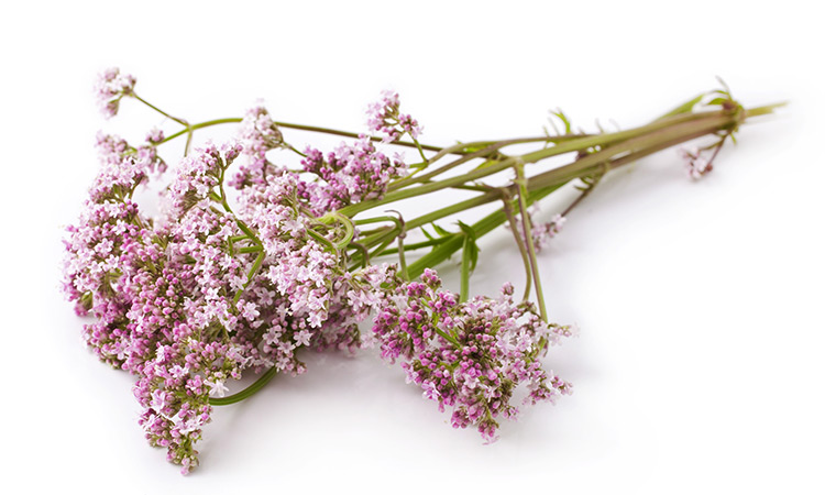 herbs for better sleep Valerian (Valeriana officinalis)